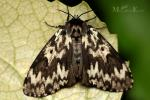 Lymantriidae - tussock moths