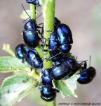 Eumolpinae - oval leaf beetles