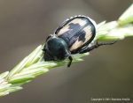 Rutelinae - shining leaf chafers
