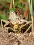 Ensifera - long-horned grasshoppers