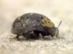 Byrrhidae - pill or moss beetles