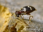 Ptinidae - spider beetles