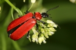 Pyrochroidae - fire-colored beetles
