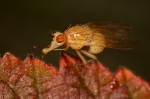 Psilidae - rust flies