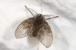 Psychodidae - moth flies