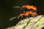 Criocerinae - shining leaf beetles