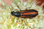 Melyridae - soft-winged flower beetles