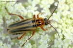 Cantharidae - soldier beetles