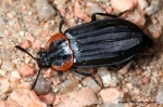 Silphidae - carrion beetles