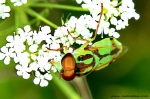 Stratiomyidae - soldier flies