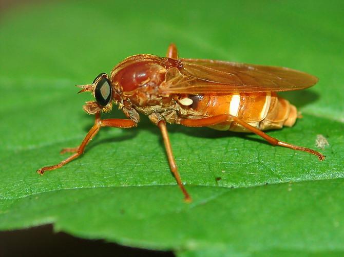 http://www.meloidae.com/data/zivocichove-diptera/diptera00086.JPG