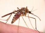 Culicidae - mosquitoes