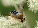 Syrphidae - flower flies