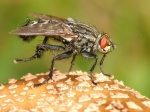 Sarcophagidae - flesh flies