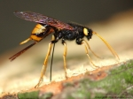 Siricidae - woodwasps